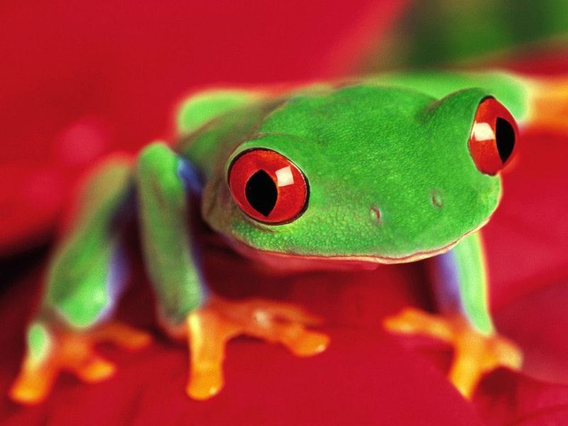 Look at your desktop and see the amazing views of the amusing frogs on it!